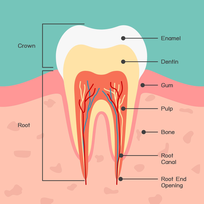 Wurzelspitzenresektion: Für den Erhalt Ihrer natürlichen Zähne   MKG Nürnberg, Dr. Dr. Zikarsky & Kollegen